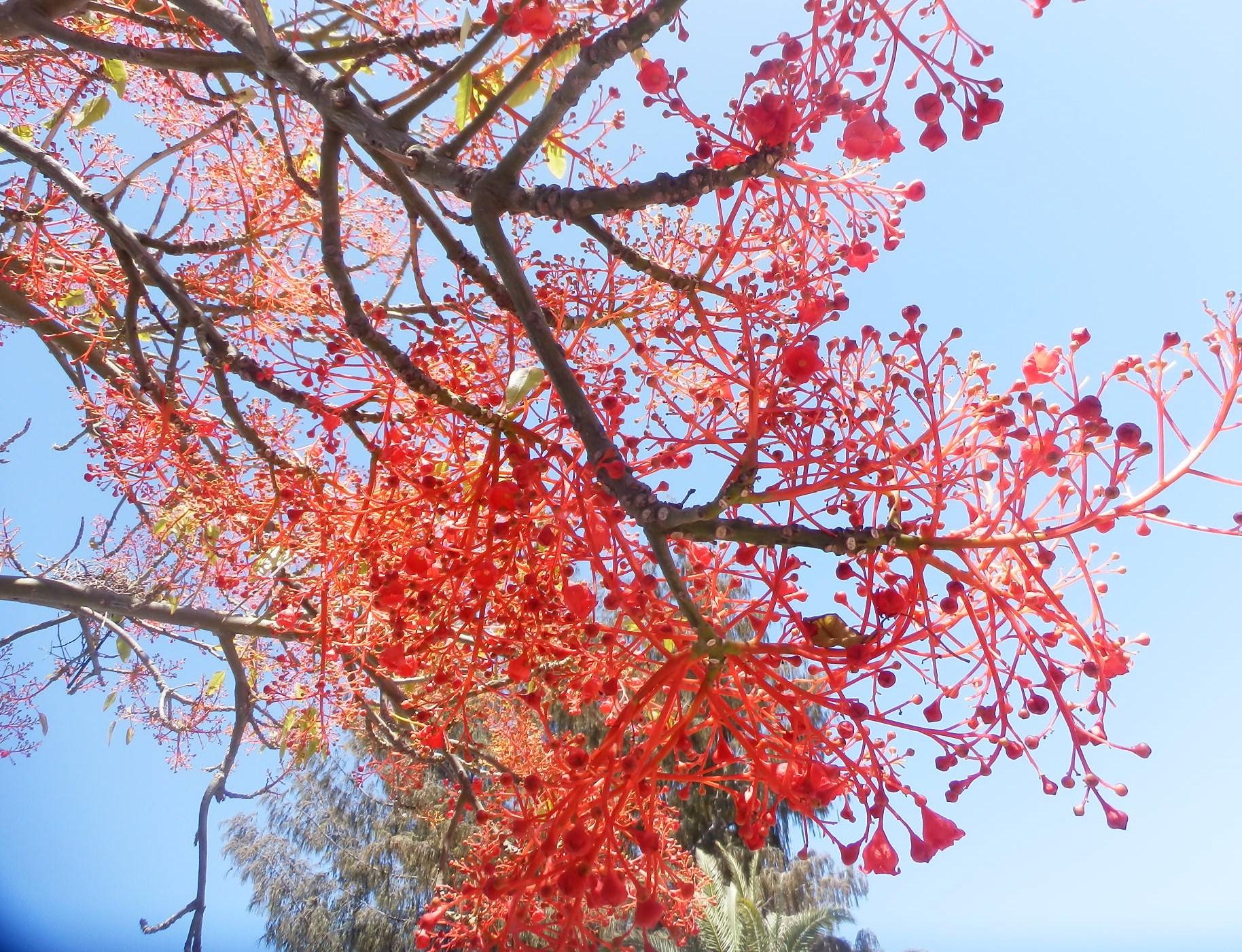 Brachychiton for Arbol de fuego jardin