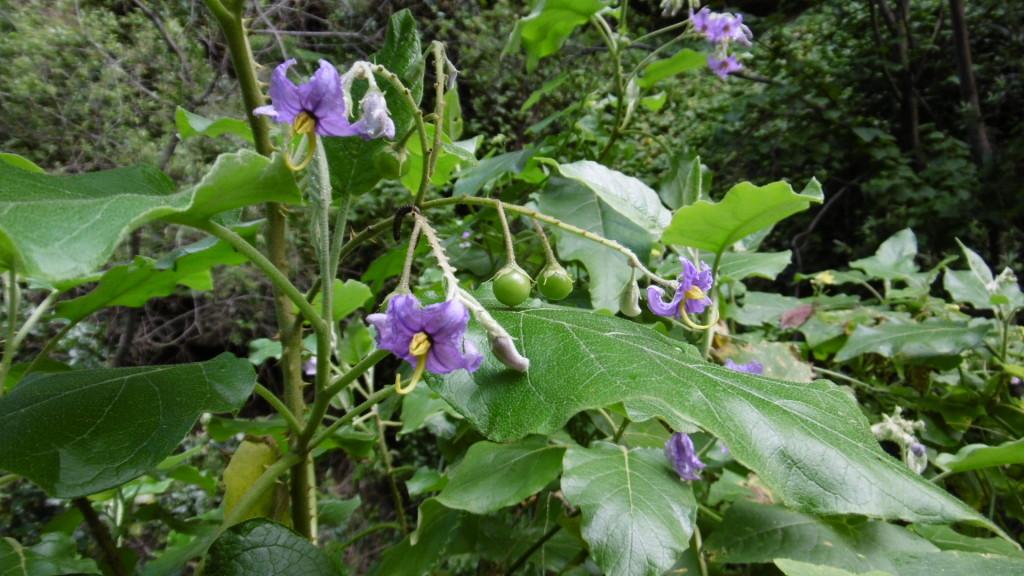 Solanum vespertilio