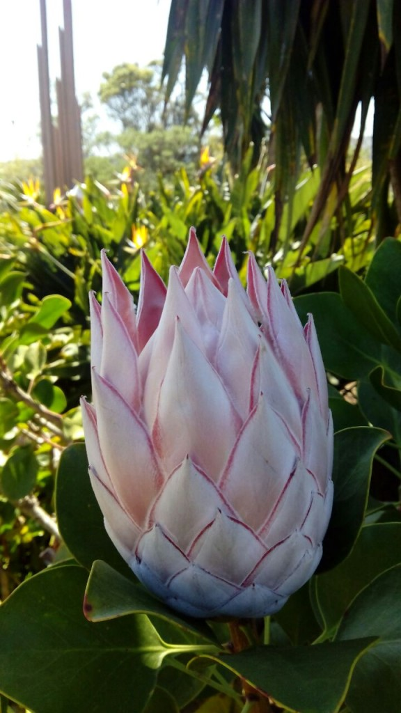 Protea rey (Protea cynaroides)