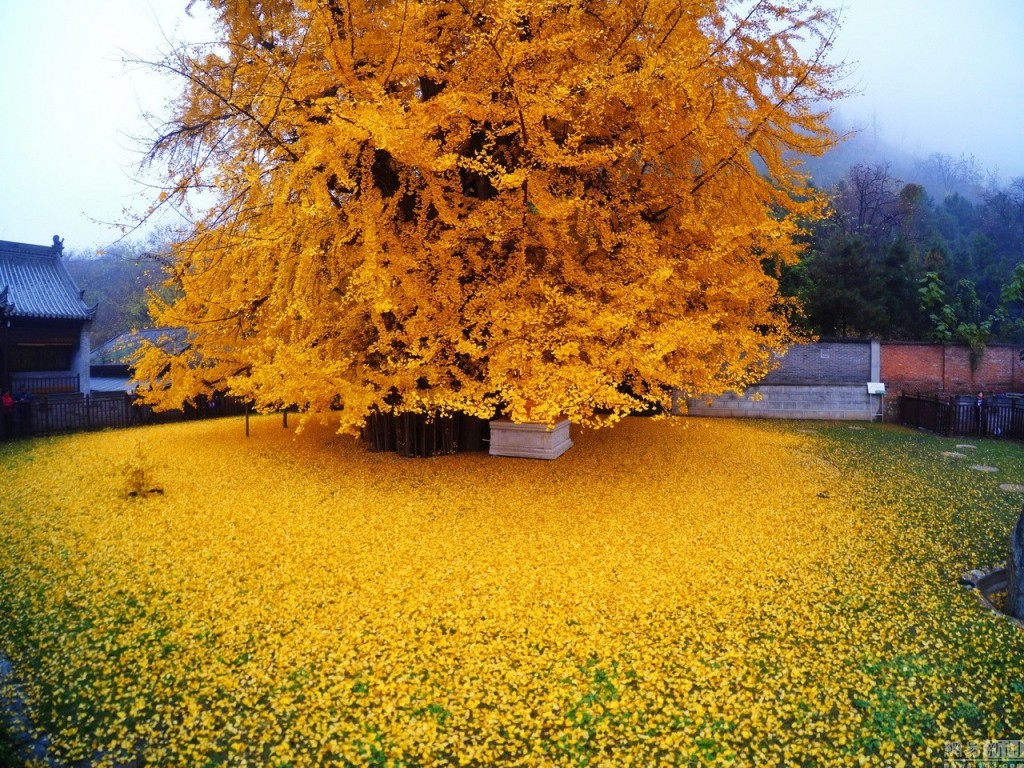 Chinese_Ginkgo_Tree_Zhongnan_Temple2